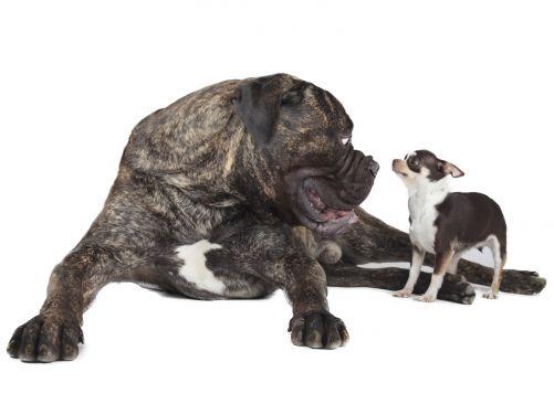 Dnešní plejáda nejroztodivnějších psích plemen je výsledkem genetických modifikací původního vlka (Zdroj Shutterstock)