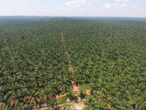 Pěstování palmy olejné velmi postihuje indonéskou přírodu (zdroj Adobe Stock)