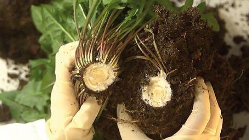 Guma z kořenů pampelišky je ekologicky a ekonomicky atraktivní alternativou k tropickému kaučuku (zdroj Continental)