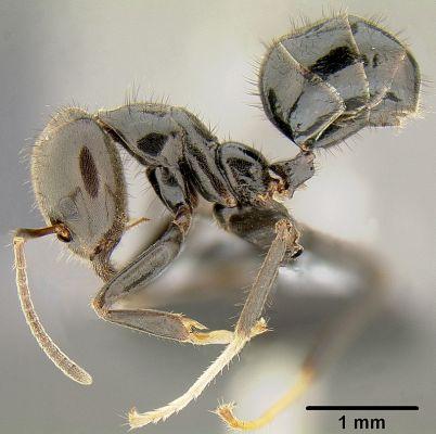 Mavenec rodu Philidris nagasau (©Eli M. Sarnat, California Academy of Sciences, www.antweb.org)