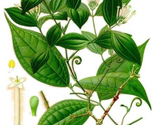 Kulčiba dávivá (Strychnos toxifera) (zdroj: Franz Eugen Köhler, Köhler's Medizinal-Pflanzen, Public domain Wikimedia Commons)