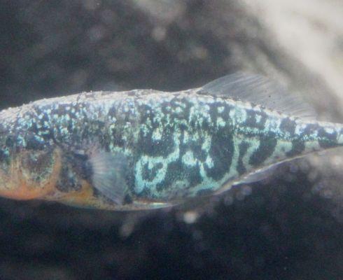 Koljuška (zdroj Wikimedia Creative Commons)