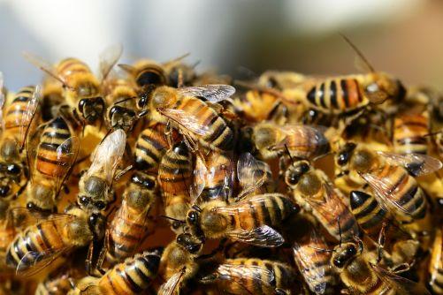 Včely medonosné (zdroj Pixabay, Creative Commons)