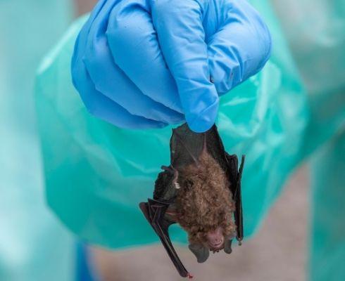 Každoročně se v netopýrech objeví na deset nových kmenů virů (foto: L. Gil/IAEA, www.iaea.org)