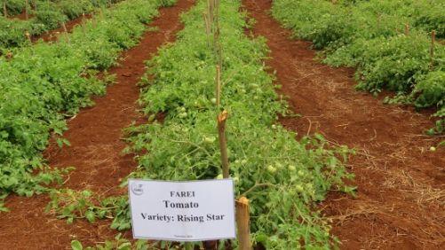 Polní zkoušky nové odrůdy Rising Star na výzkumné stanici FAREI (foto: FAREI, copyright IAEA)