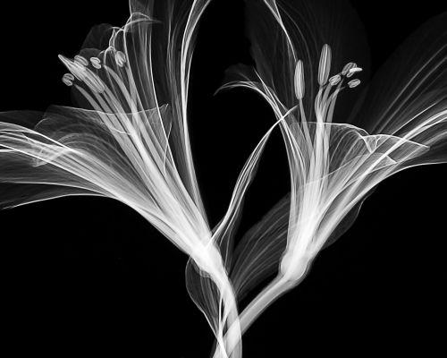 RTG snímek lilie (zdroj Pixabay)
