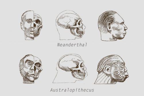 Lebky Neandrtálce a Australopiteka (zdroj Adobe Stock)
