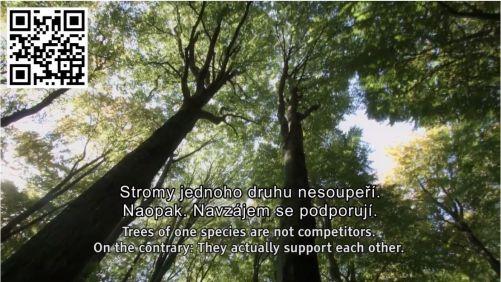 Stromy se navzájem podporují, mateřské pomáhají svým semenáčkům a posílají jim přes kořeny a mykozhizní vlákna výživu (šot z traileru k filmu)