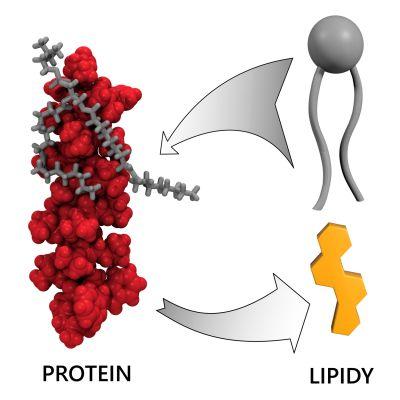 Členitý povrch proteinů (červeně) způsobuje zachytávání nožiček lipidů (šedě) a zpomalení jejich pohybu v membráně. Cholesterol se svou plochou strukturou (žlutě) se proteinům vyhýbá. (Zdroj ÚFCHJH)